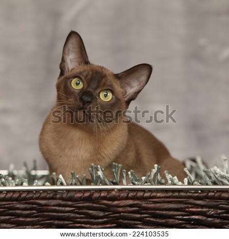 Beautiful brown Burmese cat in front of silver blanket - stock photo