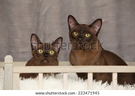 Beautiful brown Burmese cats in front of silver blanket - stock photo
