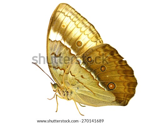 Beautiful brown butterfly, the Cambodian Junglequeen isolated on white background - stock photo