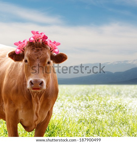 beautiful brown cow in tiroler style with flowers on his head - stock photo