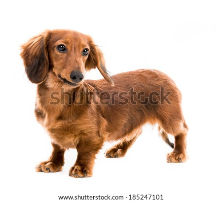 Beautiful brown d dachshund on white background - stock photo