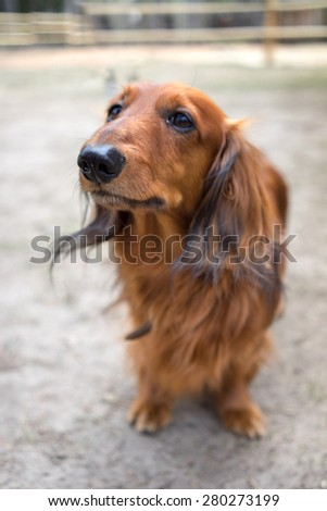 Beautiful brown dog breed dachshund standing on a sidewalk looking up - stock photo