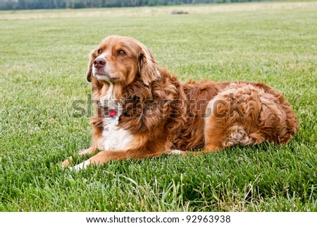 beautiful brown dog outdoors - stock photo