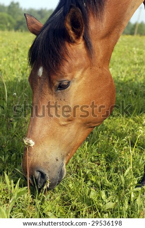 Beautiful brown horse are eating grass on the meadow - stock photo