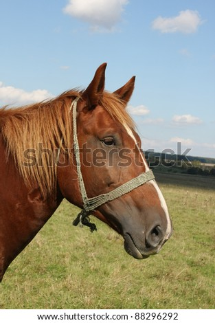 Beautiful brown horse closeup