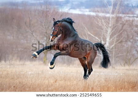 Beautiful brown horse racing galloping across the field on a background autumn forest. He is wearing athletic bridle - stock photo