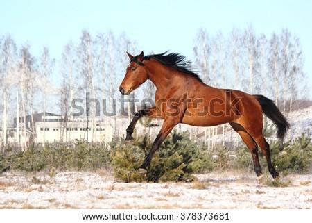 Beautiful brown horse running free in winter - stock photo