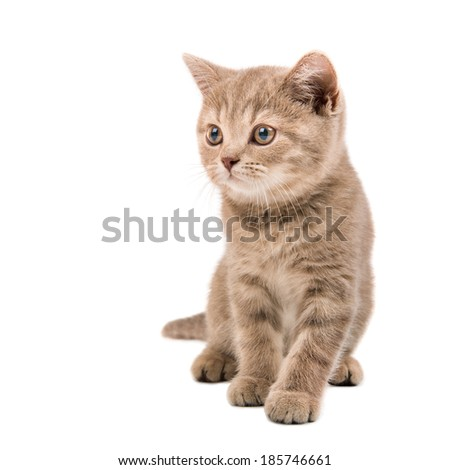 Beautiful brown kitten, isolated on a white  background.