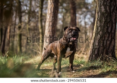 beautiful brown male stafford bull terrier posing outside in the forest - stock photo