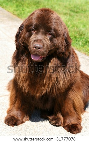beautiful brown newfoundland dog - stock photo