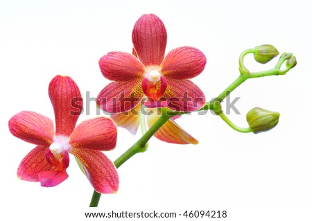 Beautiful brown orchid against a white background - stock photo