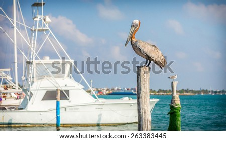 Beautiful brown Pelican on tropical Mujeres island, Mexico - stock photo