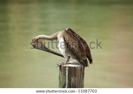 Beautiful brown Pelican standing on post scratching his belly  in front of green  water - stock photo