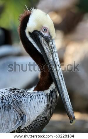 Beautiful Brown Pelican with a long beak - stock photo