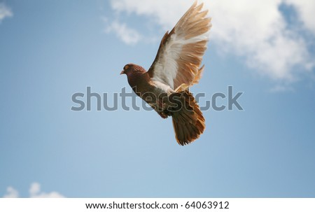 Beautiful brown pigeon flying - stock photo