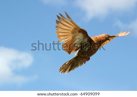 Beautiful brown pigeon flying, blue sky background - stock photo
