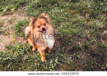 beautiful brown puppy dog standing on grass in park in summer and look straight at camera