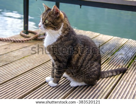 Beautiful brown tabby cat with white chest and paws on wooden pier,wood.Colorful cat sitting on open air.Outdoor.Simple fat cat on brown blue green nature background.Curious watching,eagerly looking - stock photo