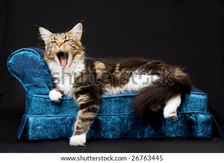 Beautiful brown tabby with white adult Maine Coon cat, yawning while lying on miniature blue sofa, on black background - stock photo