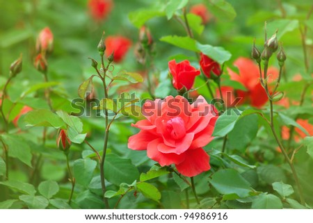 Beautiful buds of roses on the bushes - stock photo