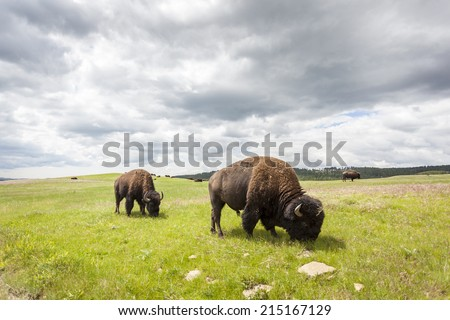 Beautiful Buffaloes in Yellowstone National Park, Wyoming, USA - stock photo