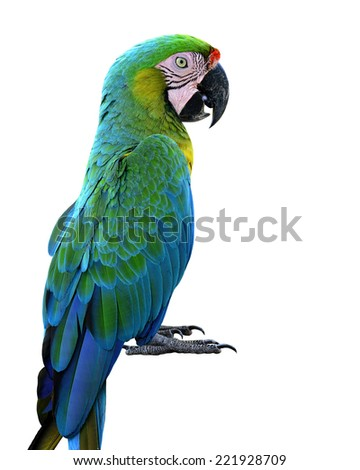 Beautiful Buffon's Macaw, the nice green bird isolated on white background
