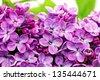 Beautiful Bunch of Lilac close-up . - stock photo