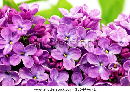 Beautiful Bunch of Lilac close-up . - stock photo