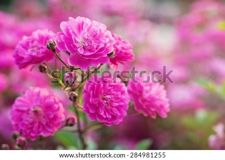 Beautiful bunch of roses in beautiful light - stock photo