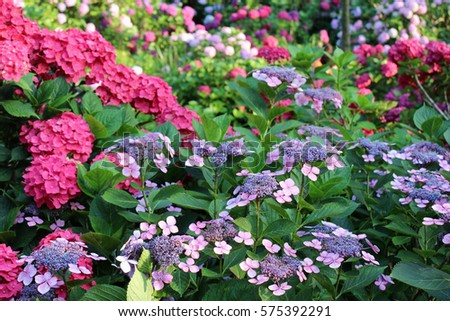 Beautiful Bush Of Hydrangea Flowers In A Garden