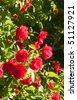 beautiful bush of red roses - stock photo