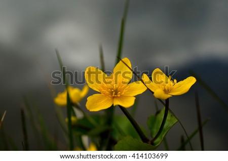 beautiful buttercup flower in summer wilderness - stock photo