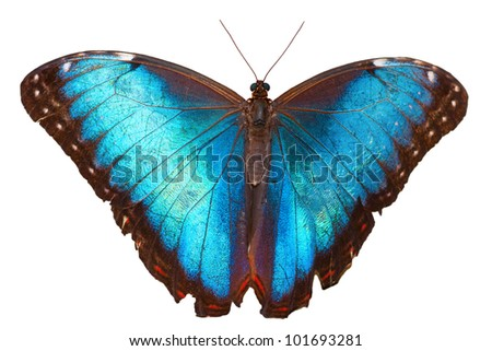 Beautiful butterfly (Blue Morpho) - isolated on white background - stock photo