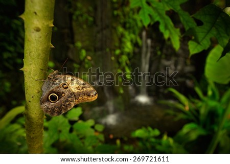 Beautiful butterfly Blue Morpho, Morpho peleides, in habitat, with dark forest and waterfall, Costa Rica - stock photo