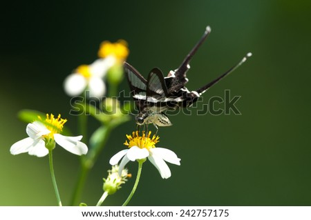 Beautiful Butterfly Feed on a white flower - stock photo