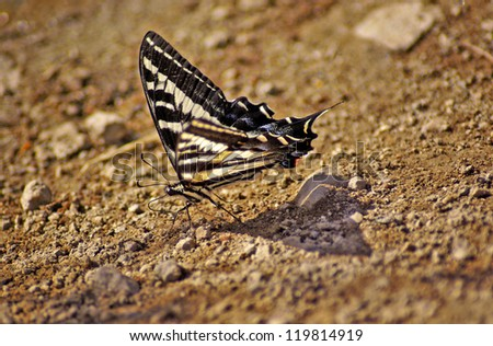 Beautiful Butterfly Going Down Hill - stock photo