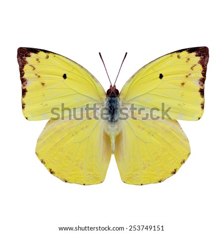Beautiful butterfly, Lemon Emigrant Butterfly in natural color profile isolated on white background - stock photo
