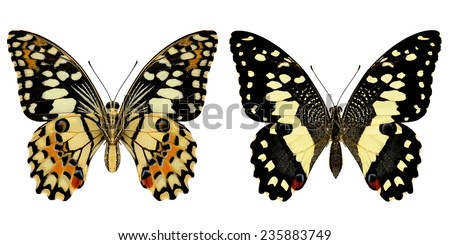 Beautiful butterfly, Lime Butterfly isolate on white background.(Papilo demoles) - stock photo