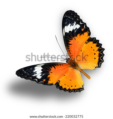 Beautiful butterfly, Malay Lacewing, Leopard Lacewing butterfly flying up. - stock photo