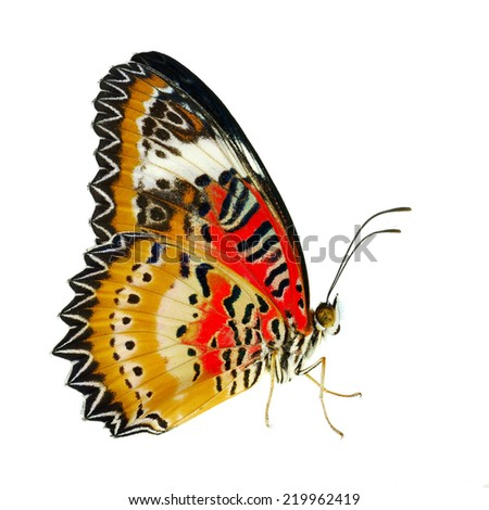 Beautiful butterfly, Malay Lacewing, Leopard Lacewing butterfly isolated on white background. - stock photo