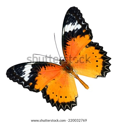 Beautiful butterfly, Malay Lacewing, Leopard Lacewing butterfly upper wing profile isolated on white background. - stock photo
