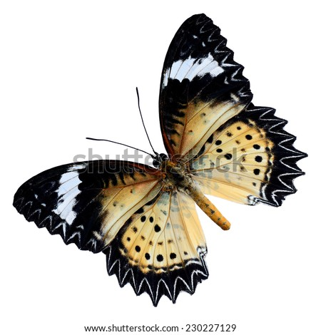 Beautiful butterfly, Malay Lacewing, Leopard Lacewing upperwing profile isolated on white background. - stock photo