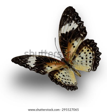 Beautiful butterfly, Malayan Lacewing, female Leopard Lacewing upper wing profile flying up - stock photo
