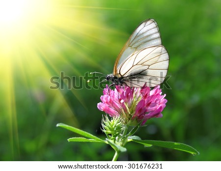 Beautiful butterfly on a pink clover - stock photo