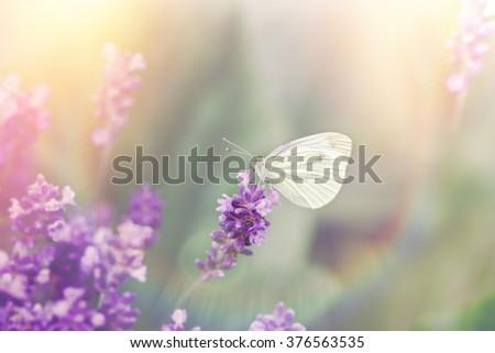 Beautiful butterfly on beautiful lavender flower - amazing, beautiful nature - stock photo