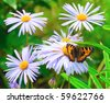 Beautiful butterfly on chamomile flower - stock photo
