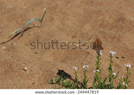 Beautiful butterfly on tiny flowers over sea sand background of East Crimea, Russia - stock photo