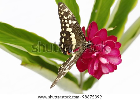 Beautiful butterfly on tropical pink flower