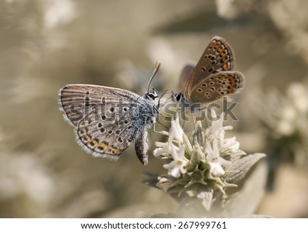 Beautiful butterfly pair resting on a flower - stock photo