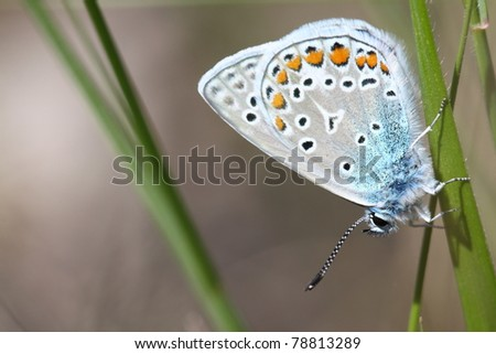 Beautiful butterfly (Polyommatus icarus)